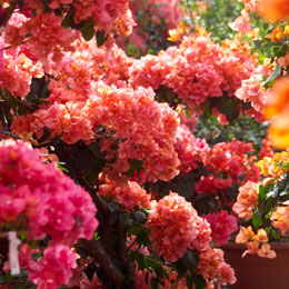 Salmon, pink, and orange bougainvillea